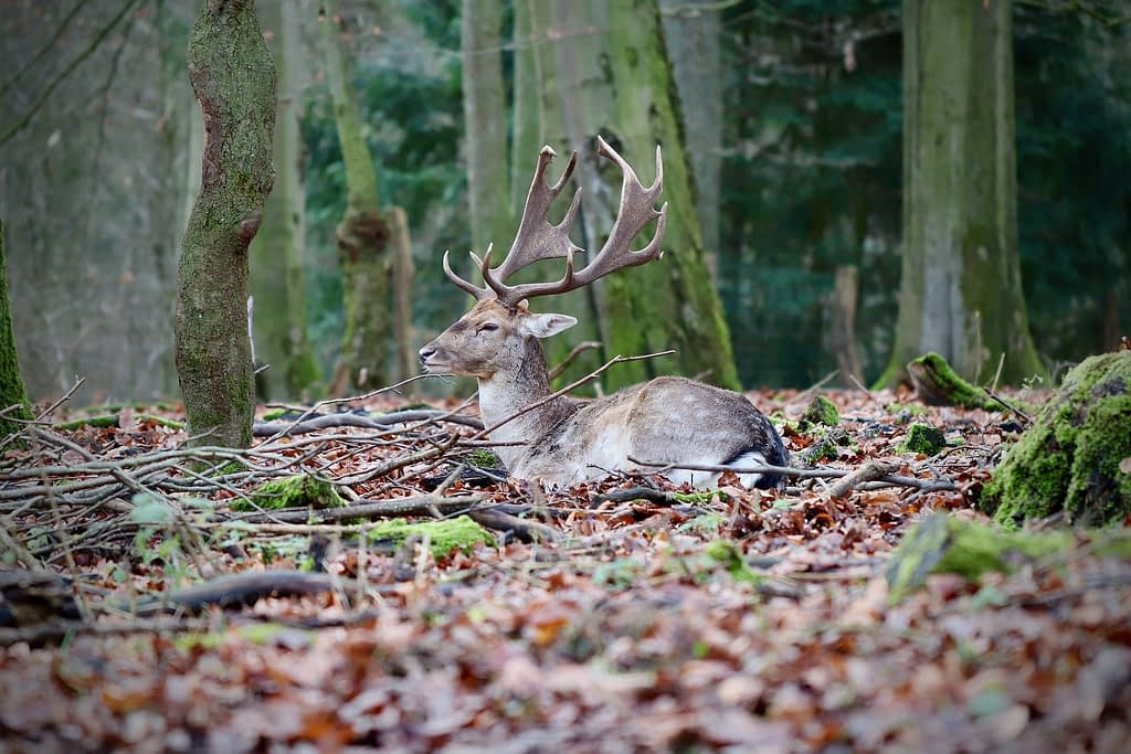 Bedding deer will have fewer distractions while watching for threats than a traveling deer.